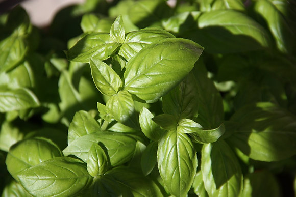 Basilic grand vert bio - pot de 5L