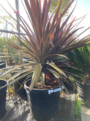Cordyline red star - 35L