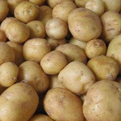 Plants de pommes de terre -Sirtema