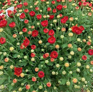 Chrysanthème pomponette coupe de 27cm