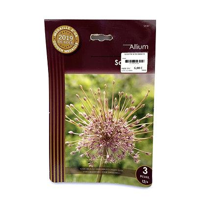 Allium schubertii - bulbes