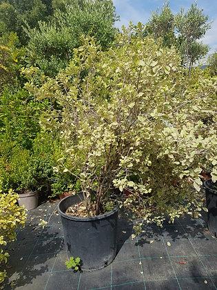 Pittos tenuifolium Elisabeth