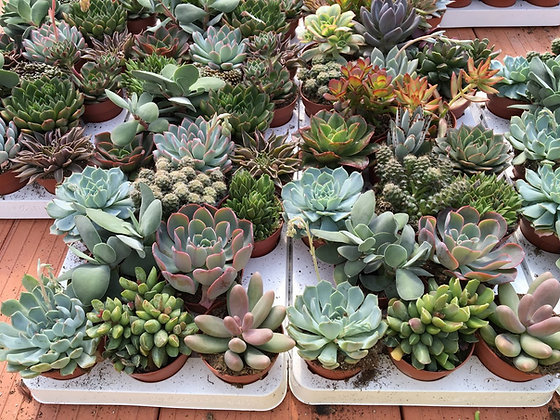 Mix plantes succulentes - pot de 8,5cm