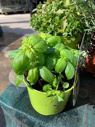 Basilic grand vert compacto pot de 14cm