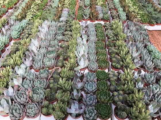 Mix plantes succulentes - pot de 5cm