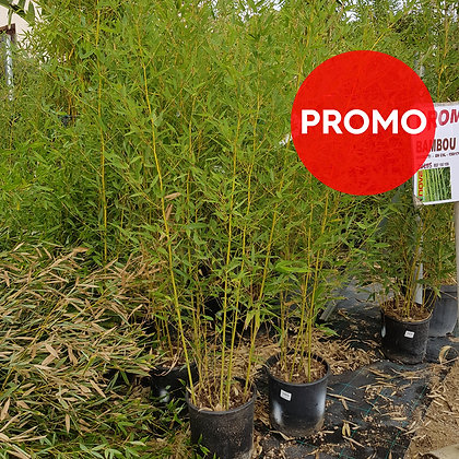Bambou phyllostachys - Bissetti