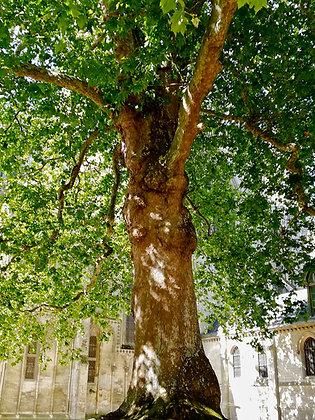 Platane acerifolia haute tige - 90L