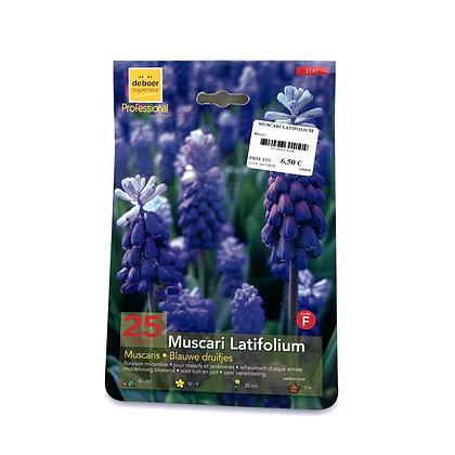 Muscari latifolium - bulbes
