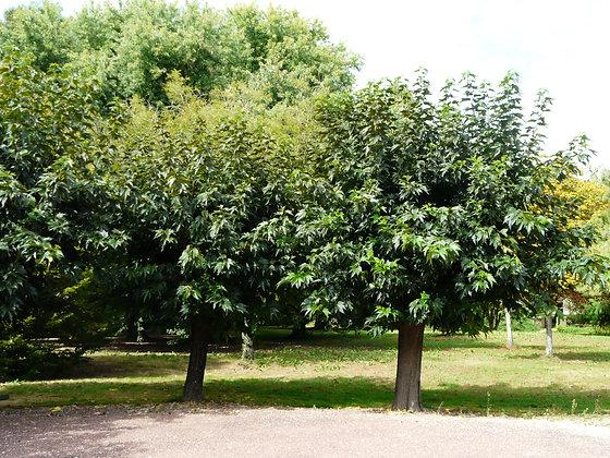 Morus platanifolia sans fruit