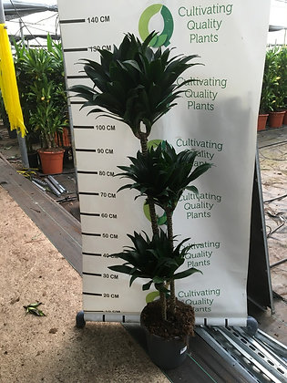 Dracaena compacta - 3 plantes