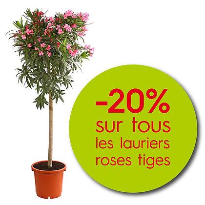 Laurier tige rose pot de 25L