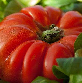 Tomates greffées pot de 10,5cm