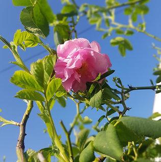 Rosier Centifolia
