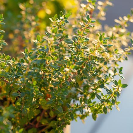 Top 10 des plantes pour terrains arides : les aromates persistants