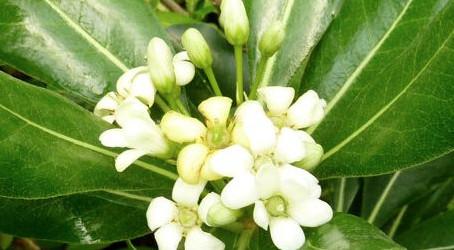 Top 10 des plantes pour terrains arides : le pittosporum tobira