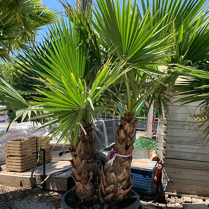 Washingtonia robusta 170L