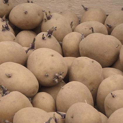 Plants de pommes de terre - Bintje
