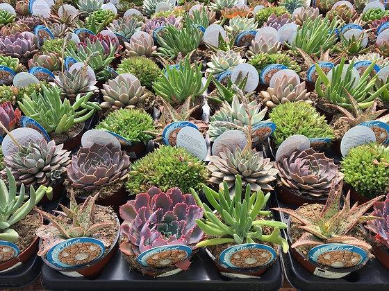 Mix plantes succulentes - pot de 13cm