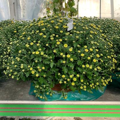 Chrysanthème pomponette en pot de 19cm