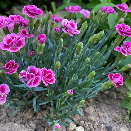 Dianthus Barbatus - pot de 14cm