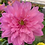 Thumbnail: Dahlia - pot de 19cm
