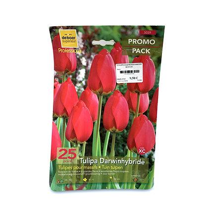 Tulipe darwinhybride - bulbes