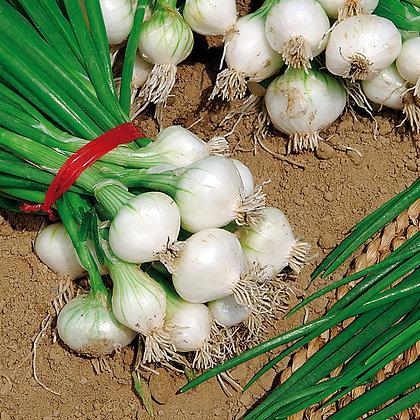 Oignon blanc Rebouillon B50