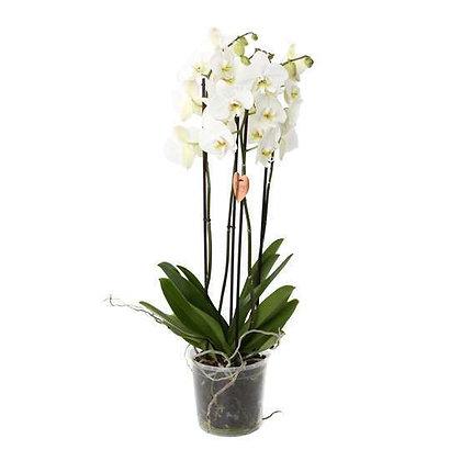 Orchidée Duetto 4 tiges