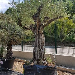 Olivier provençal