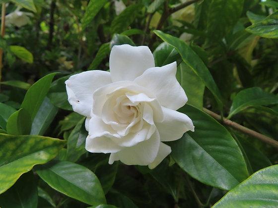 Gardenia pot de 24cm