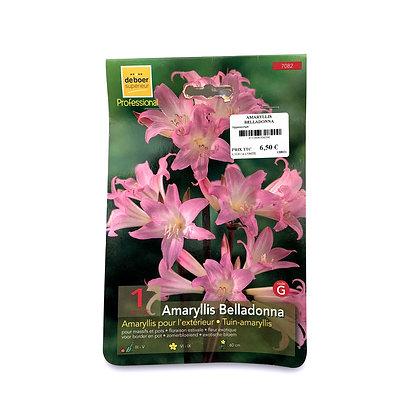 Amaryllis belladonna - bulbes