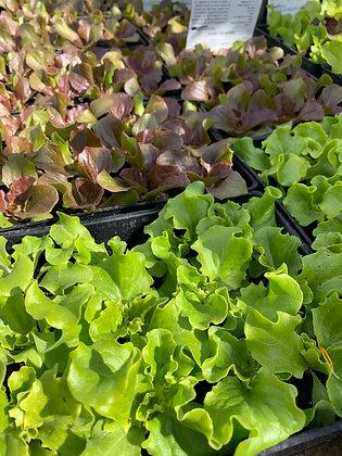 Salade barquette 12 mottes