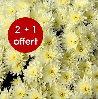 Chrysanthème pomponette pot de 18cm