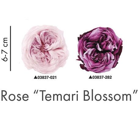"Роза""Blossom"""