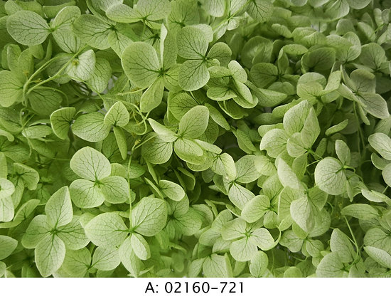 Гортензия зеленая, А: 721