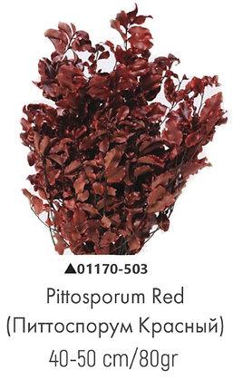 Питтоспорум красный