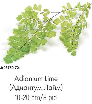 Адиантум лайм