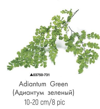 Адиантум зеленый