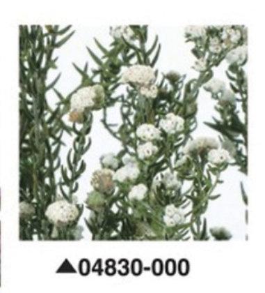 Филика белая, А: 000