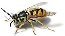 Bees Hornets and Wasps