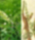 Sopora Root.png