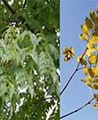 Amur Cork Tree.png