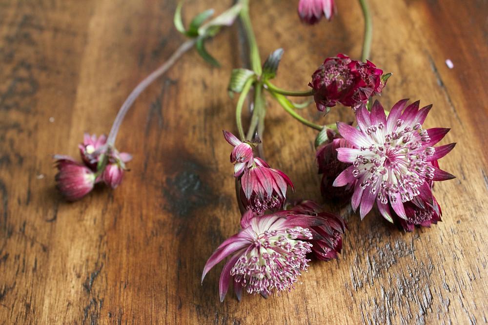 astrantia blooms