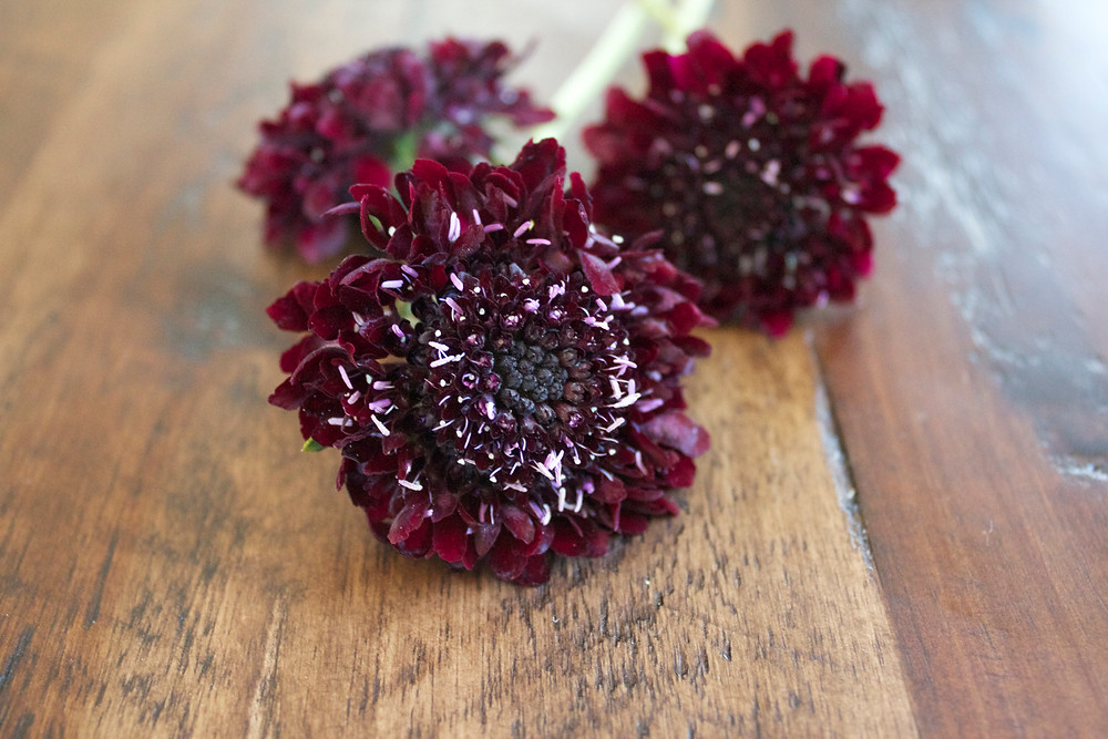 Scabiosa bloom