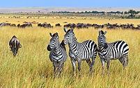 Great-Migration-Safari-Style-Zebra-Masai