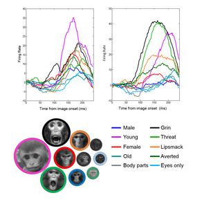 How does the brain represent social stimuli?