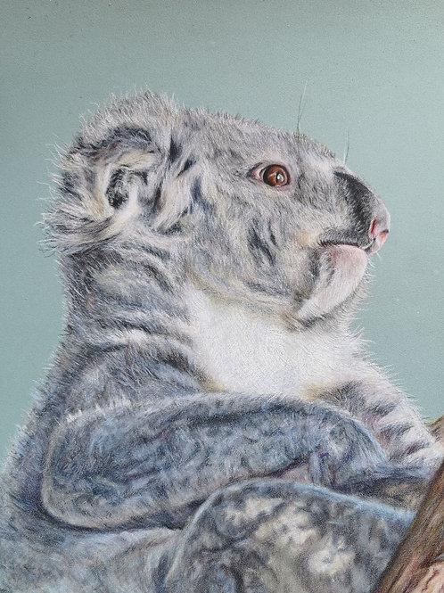 Colin the koala