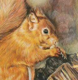 Red squirrel - detail