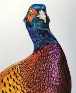 Pheasant close up
