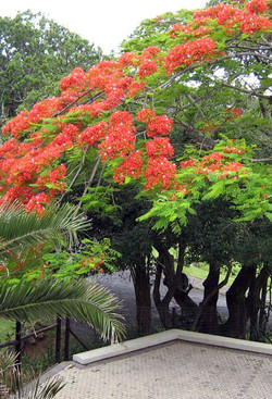 Coral Tree Colony Tree Canopy